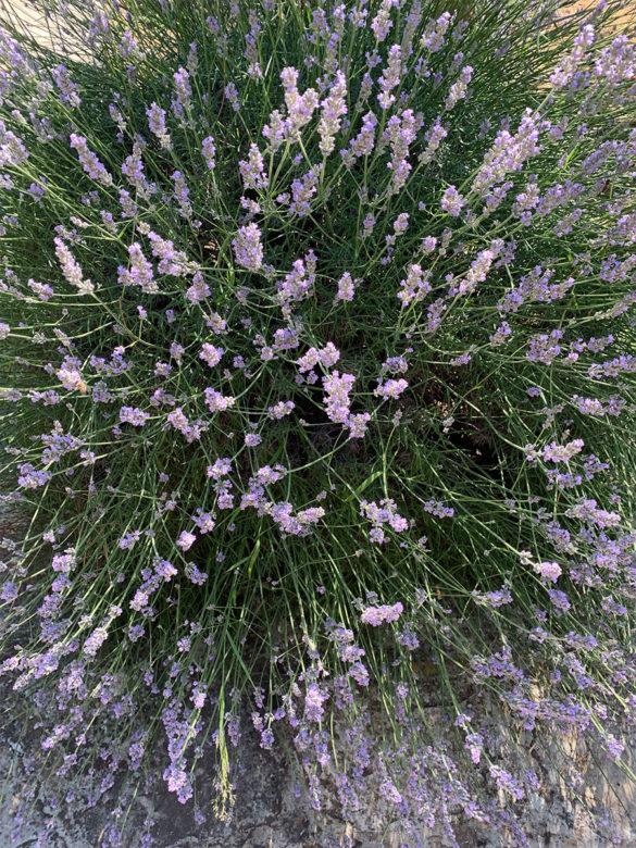 Cvijeće u Supetru